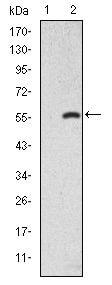 Western blot - Anti-Smad2 antibody [5G7] (ab119907)
