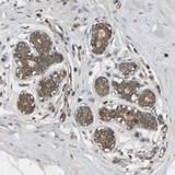 Immunohistochemistry (Formalin/PFA-fixed paraffin-embedded sections) - Anti-METTL21D antibody (ab121127)