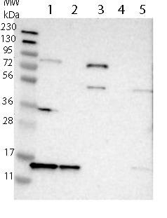 Western blot - Anti-SNRPD3 antibody (ab121129)