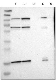 Western blot - Anti-LAMTOR1 antibody (ab121157)