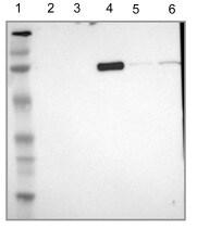 Western blot - Anti-IF-2(Mt) antibody (ab121243)