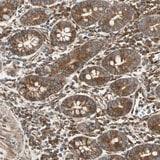 Immunohistochemistry (Formalin/PFA-fixed paraffin-embedded sections) - Anti-TRIO antibody (ab121273)