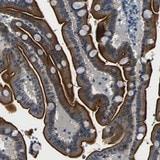 Immunohistochemistry (Formalin/PFA-fixed paraffin-embedded sections) - Anti-FAM159B antibody (ab121348)
