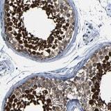 Immunohistochemistry (Formalin/PFA-fixed paraffin-embedded sections) - Anti-DUSP27 antibody (ab121372)