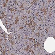 Immunohistochemistry (Formalin/PFA-fixed paraffin-embedded sections) - Anti-GPCR GPR78 antibody (ab121390)