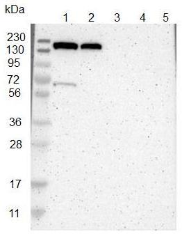 Western blot - Anti-KIAA0355 antibody (ab121441)