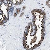 Immunohistochemistry (Formalin/PFA-fixed paraffin-embedded sections) - Anti-OR14K1 antibody (ab121508)