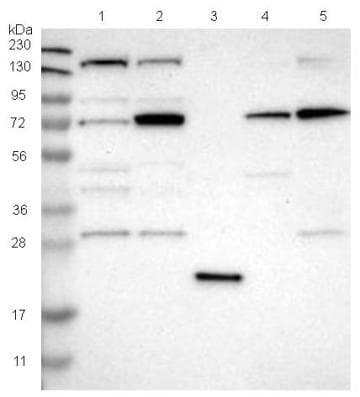 Western blot - Anti-DNAJC14 antibody (ab121535)