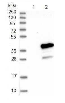 Western blot - Anti-MEA1 antibody (ab121543)