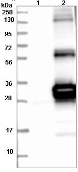 Western blot - Anti-HSCB antibody (ab121569)