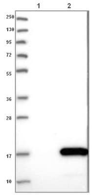 Western blot - Anti-C9orf80 antibody (ab121623)