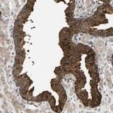 Immunohistochemistry (Formalin/PFA-fixed paraffin-embedded sections) - Anti-KRTAP27-1 antibody (ab121678)