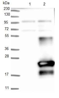 Western blot - Anti-C9orf169 antibody (ab121701)