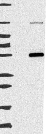 Western blot - Anti-C7orf52 antibody (ab121702)