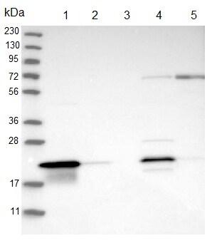 Western blot - Anti-C8orf55 antibody (ab121743)