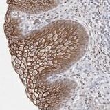 Immunohistochemistry (Formalin/PFA-fixed paraffin-embedded sections) - Anti-NIPA1 antibody (ab121744)