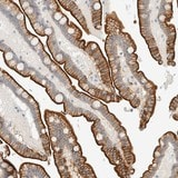 Immunohistochemistry (Formalin/PFA-fixed paraffin-embedded sections) - Anti-FAM132A antibody (ab121791)