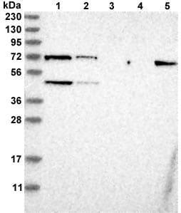 Western blot - Anti-C17orf46 antibody (ab121820)