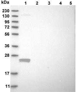 Western blot - Anti-PAMM antibody (ab121823)