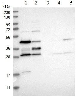 Western blot - Anti-RRP15 antibody (ab121832)