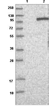 Western blot - Anti-VEPH1 antibody (ab121875)