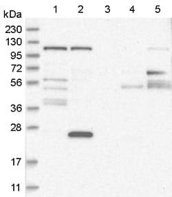 Western blot - Anti-WDR47 antibody (ab121935)