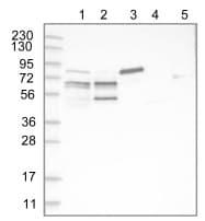 Western blot - Anti-PIP5K1 alpha antibody (ab122049)