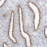 Immunohistochemistry (Formalin/PFA-fixed paraffin-embedded sections) - Anti-BSDC1 antibody (ab122170)