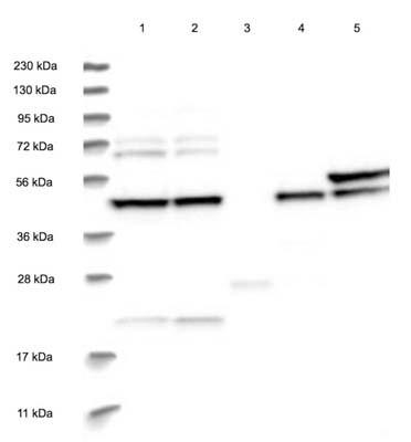 Western blot - Anti-BROX antibody (ab122174)