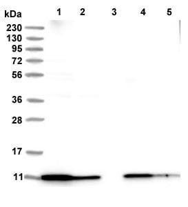 Western blot - Anti-ATP5I antibody (ab122241)