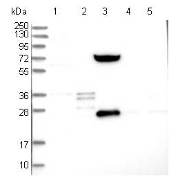 Western blot - Anti-SHCBP1L antibody (ab122310)