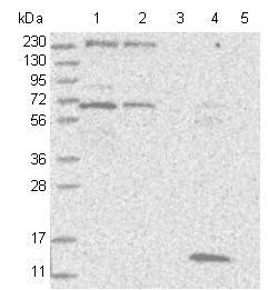 Western blot - Anti-ARFGEF3 antibody (ab122329)