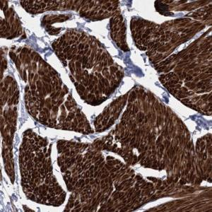 Immunohistochemistry (Formalin/PFA-fixed paraffin-embedded sections) - Anti-Arylsulfatase J antibody (ab122344)
