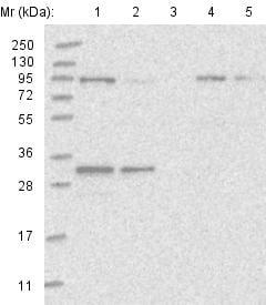 Western blot - Anti-FCHO2 antibody (ab122407)