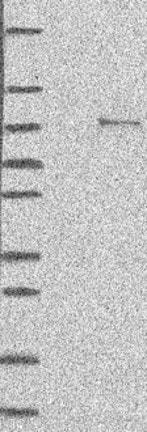 Western blot - Anti-ANUBL1 antibody (ab122419)