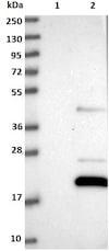 Western blot - Anti-C12orf65 antibody (ab122448)