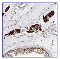 Immunohistochemistry (Formalin/PFA-fixed paraffin-embedded sections) - Anti-LRRC56 antibody (ab122506)