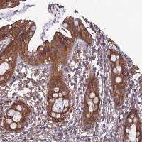 Immunohistochemistry (Formalin/PFA-fixed paraffin-embedded sections) - Anti-WDR24 antibody (ab122558)