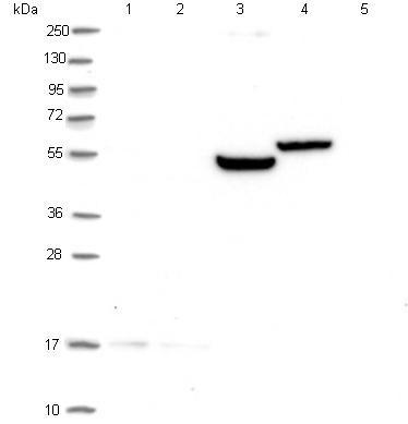 Western blot - Anti-GPR176 antibody (ab122605)