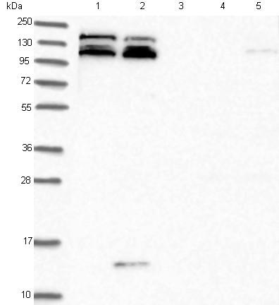 Western blot - Anti-KIAA1468 antibody (ab122612)