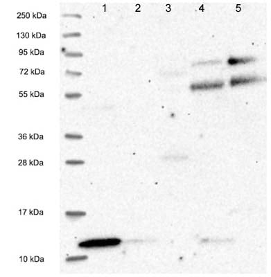 Western blot - Anti-C18orf32 antibody (ab122677)