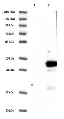 Western blot - Anti-DTD1 antibody (ab122684)