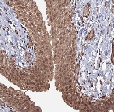 Immunohistochemistry (Formalin/PFA-fixed paraffin-embedded sections) - Anti-TELO2 antibody (ab122722)