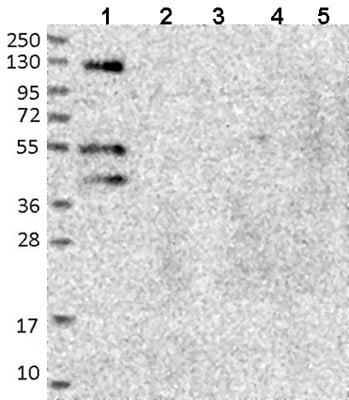 Western blot - Anti-FUZ antibody (ab122778)