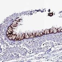 Immunohistochemistry (Formalin/PFA-fixed paraffin-embedded sections) - Anti-OR51Q1 antibody (ab122880)