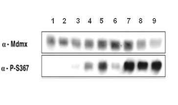 Western blot - Anti-MDMX (phospho S367) antibody [15] (ab122926)