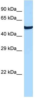 Western blot - Anti-GPCR GPR19 antibody (ab123014)