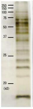 SDS-PAGE - Anti-Cholera Toxin antibody (ab123129)