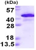SDS-PAGE - Alcohol Dehydrogenase protein (ab123147)