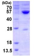 SDS-PAGE - GATM protein (ab123149)